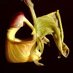 Coryanthes verrucolineata Orchi 03.jpg