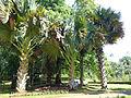 Corypha umbraculifera-Jardin botanique de Kandy (4).jpg
