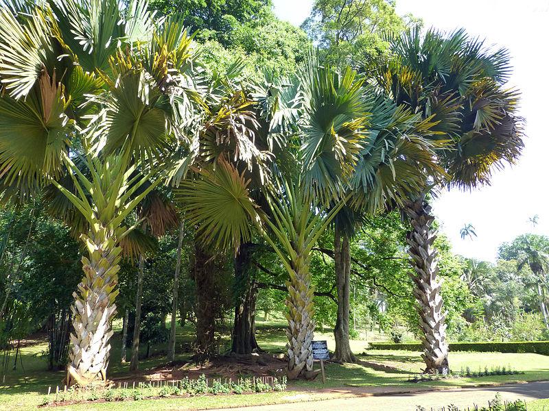 File:Corypha umbraculifera-Jardin botanique de Kandy (4).jpg