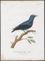 Cotinga caerulea - 1801 - Print - Iconographia Zoologica - Special Collections University of Amsterdam - UBA01 IZ16600063.tif