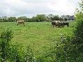 Cows and calves - geograph.org.uk - 1322804.jpg