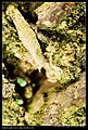 Crambidae (5184327653).jpg