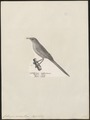 Crateropus acaciae - 1809-1845 - Print - Iconographia Zoologica - Special Collections University of Amsterdam - UBA01 IZ16400065.tif