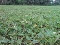 Creeper vegetable farming at Tallavalasa.jpg