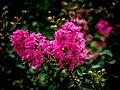 Crepe Myrtle Flowers -Oya ağacı TR- (21964966356).jpg