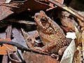 Crested Toad (Ingerophrynus divergens) (6760651445).jpg