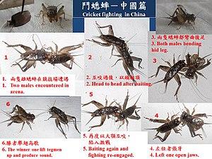 Cricket fighting - Cricket fighting