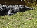 Crocodile - Playa y Laguna La Ventanilla - Oaxaca - Mexico (6522971583).jpg