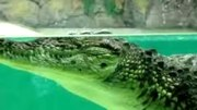 File:Crocodile Facts- 19 Facts about Nile Crocodiles.webm