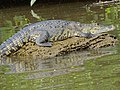 Crocodile in River - Tecolutla - Veracruz - Mexico - 01 (15852096900).jpg