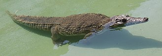 Nile crocodile - Nile crocodile in water