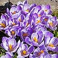 Crokus Flower 3224.jpg