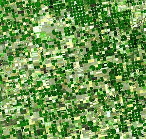 Satellite image of circular crop fields in Haskell County, Kansas in late June 2001. Healthy, growing crops are green. Corn would be growing into leafy stalks by then. Sorghum, which resembles corn, grows more slowly and would be much smaller and therefore, (possibly) paler. Wheat is a brilliant gold as harvest occurs in June. Fields of brown have been recently harvested and plowed under or lie fallow for the year.