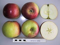 Cross section of Arthur W. Barnes, National Fruit Collection (acc. 1923-109).jpg