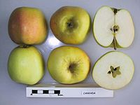 Cross section of Canvada, National Fruit Collection (acc. 1957-084).jpg