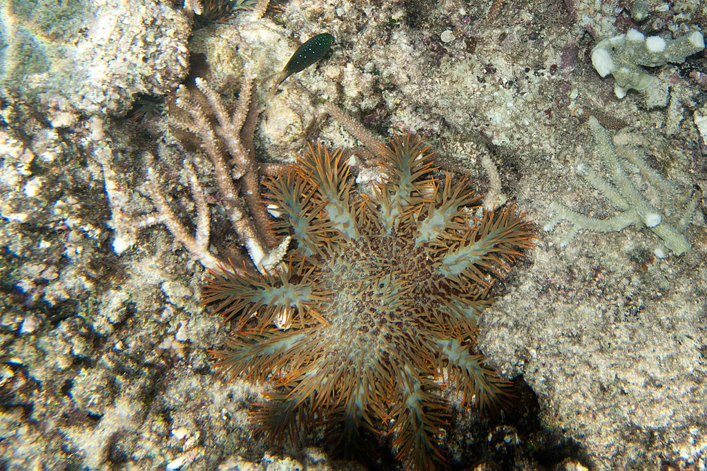 File Crown-of-thorns s...