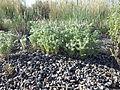 Cryptantha scoparia (7162017145).jpg