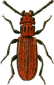 Cucujus cinnaberinus Jacobson.png
