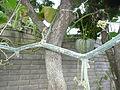 """Cucurbita argyrosperma """"calabaza rayada o cordobesa"""" (Florensa) hábito del tallo rama que sigue oidio - detrás Cucurbita maxima """"zapallo plomo"""" (Costanzi temp2) fruto F15 20160304.JPG"""
