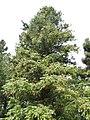 Cunninghamia lanceolata5.jpg