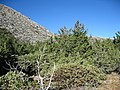 Cupressus stephensonii and ARctostaphylos pringlei with Cuyamaca peak in the background - Flickr - theforestprimeval.jpg