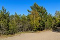 Curonian Spit NP 05-2017 img09 woods on Muellers Height.jpg