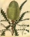 Curtis's Botanical Magazine, Plate 3052 (Volume 58, 1831).png