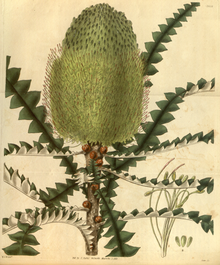 Curtis's Botanical Magazine, Plate 3052 (Volume 58, 1831).png