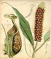 Curtis's Botanical Magazine, Plate 4285 (Volume 73, 1847).jpg