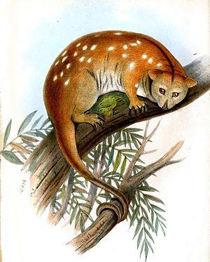 Ornate cuscus - Image: Cuscus Ornatus Jennens