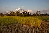 Cut rice in paddy fields.jpg
