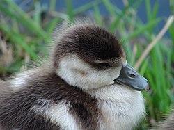 Cute South African Duck.JPG