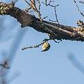 Cyanistes caeruleus in Aveyron (16).jpg