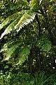 Cyathea borbonica.JPG