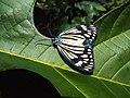 Cyclosia papilionaris - Drury's Jewel - at Peravoor (10).jpg