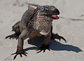 Cyclura cychlura inornata in the bahamas 2.jpg