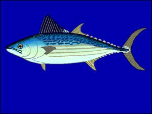 Cybiosarda elegans - Leaping bonito (Cybiosarda elegans)