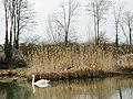 Cygne sur le canal du Rhones au Rhin - panoramio.jpg
