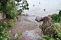 Cygnus olor (Küken) - Arboretum 2011-06-10 18-32-00.JPG