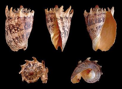 Cymbiola imperialis, Volutidae, Imperial Volute, length 21 cm, originating from Philippines.