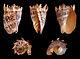 Cymbiola imperialis 01.jpg