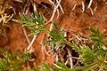 Cymopterus sessiliflorus - Flickr - aspidoscelis (1).jpg