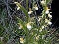 Cypripedium californicum1.jpg