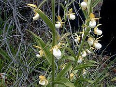 Cypripedium californicum1.jpg