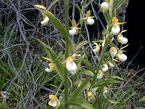 Description de l'image Cypripedium californicum1.jpg.