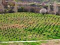 Cyprusgrapefarm.jpg