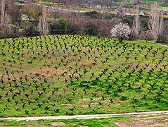 Cyprusgrapefarm