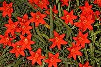 Cyrtanthus sanguineus subsp. sanguineus 5Dsr 7067.jpg