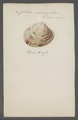 Cytherea erycina - - Print - Iconographia Zoologica - Special Collections University of Amsterdam - UBAINV0274 078 01 0015.tif