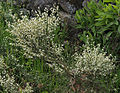 Cytisus multiflorus 20140414.jpg